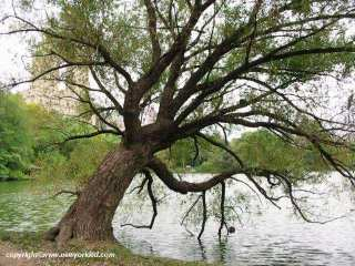 A tree which looks as if it's dipping into the Lake of Central park