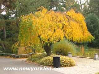 This tree was one of many with its golden turned leaves and such within the grounds of Brooklyn Botanic Garden.