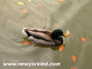 Ths beautiful duck is just peddling along on the Pond at the Brooklyn Botanic Garden.