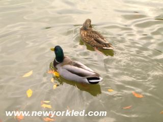Yet more pretty birds floating on the pond in Brooklyn.