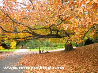 This photo features the treasure of golden fallen leaves along this path within the Brooklyn Botanic Garden.