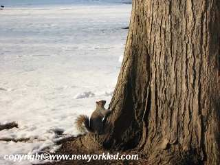A squirrel avoids the snow as it clings to this tree.