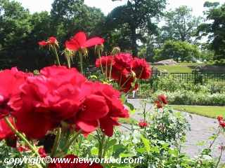 Gorgeous red roses within the Peggy Rockefeller Rose Garden.