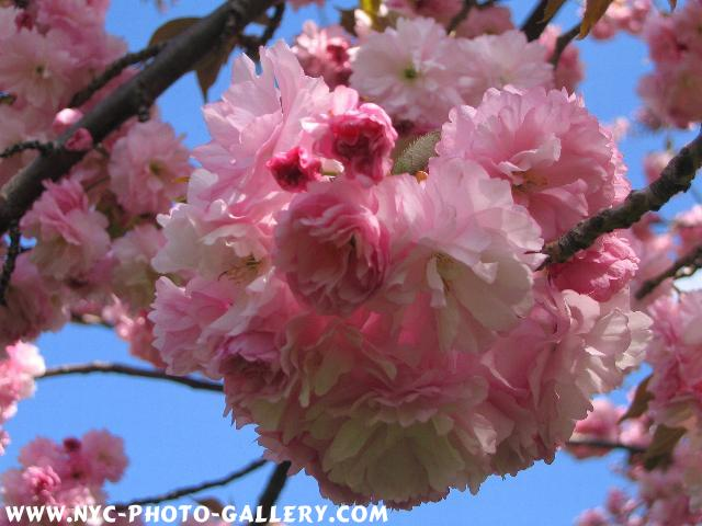 Extreme closeup of this gathering of flowering buds as they hang off this branch belonging to one of many cherry blossoms.