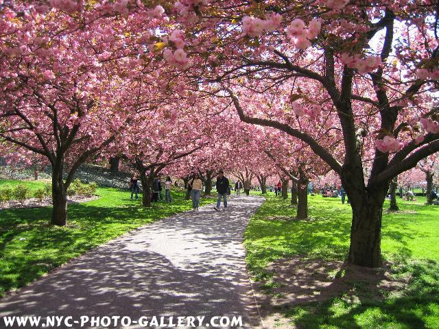 The long line and stretch of cherry blossoms along this path makes it almost surreally beautiful.