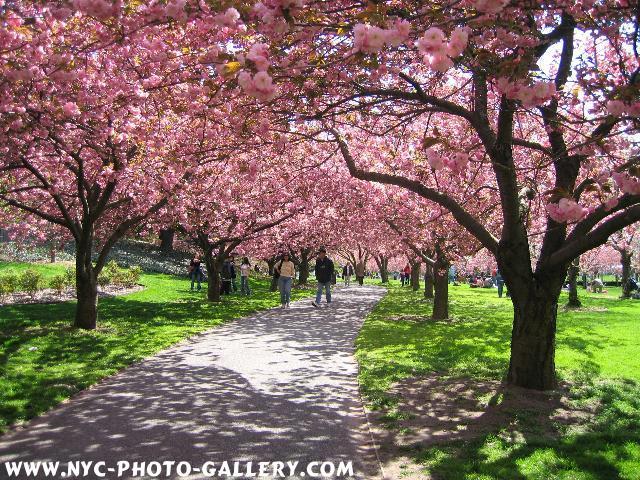 2005-Spring-Cherry-005