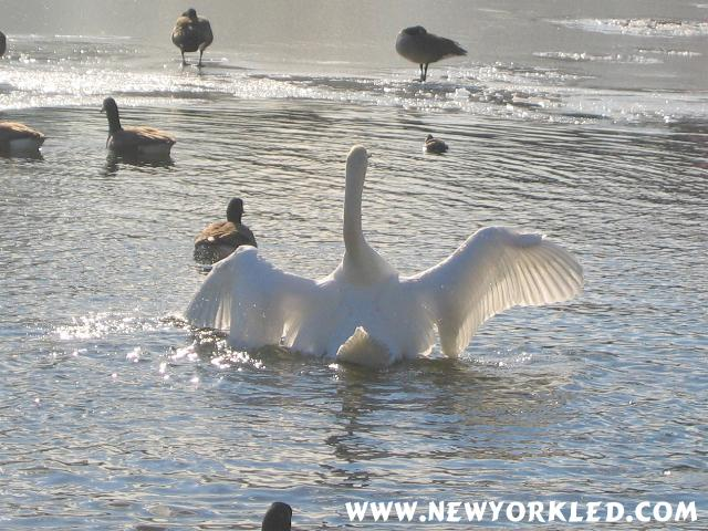 This Swan is spreading its wings at the Harlem Meer on this Wintry Day.