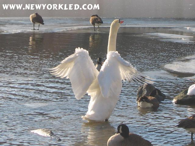 This beautiful swan is also stretching its wings amongst all the other possibly envious waterfowl in NYC's Central Park.