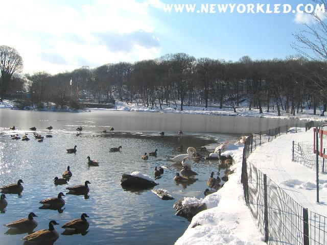 At the Harlem Meer on this Post Blizzard Day were plenty of Ducks, Geese, Pigeons and yes, even Swan.